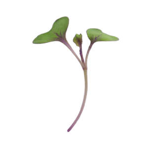 Red Cabbage | Microgreen Seed
