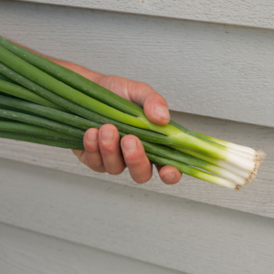 Nabechan | Spring Onion Seed