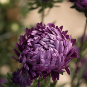 Tower Violet | Summer Aster Seed